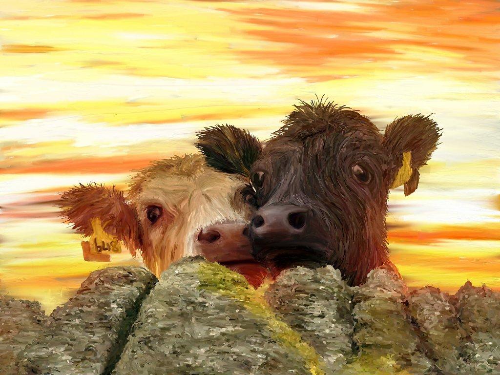 Moffat Cows