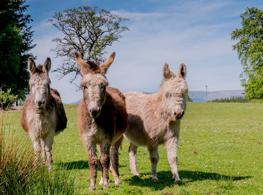 Hirsute donkeys