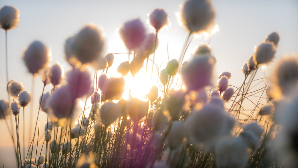 Sun flare and Hares tail Cotton Grass