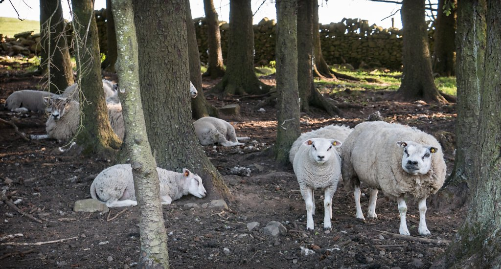 Some sheep taking shelter from the late afternoon heat