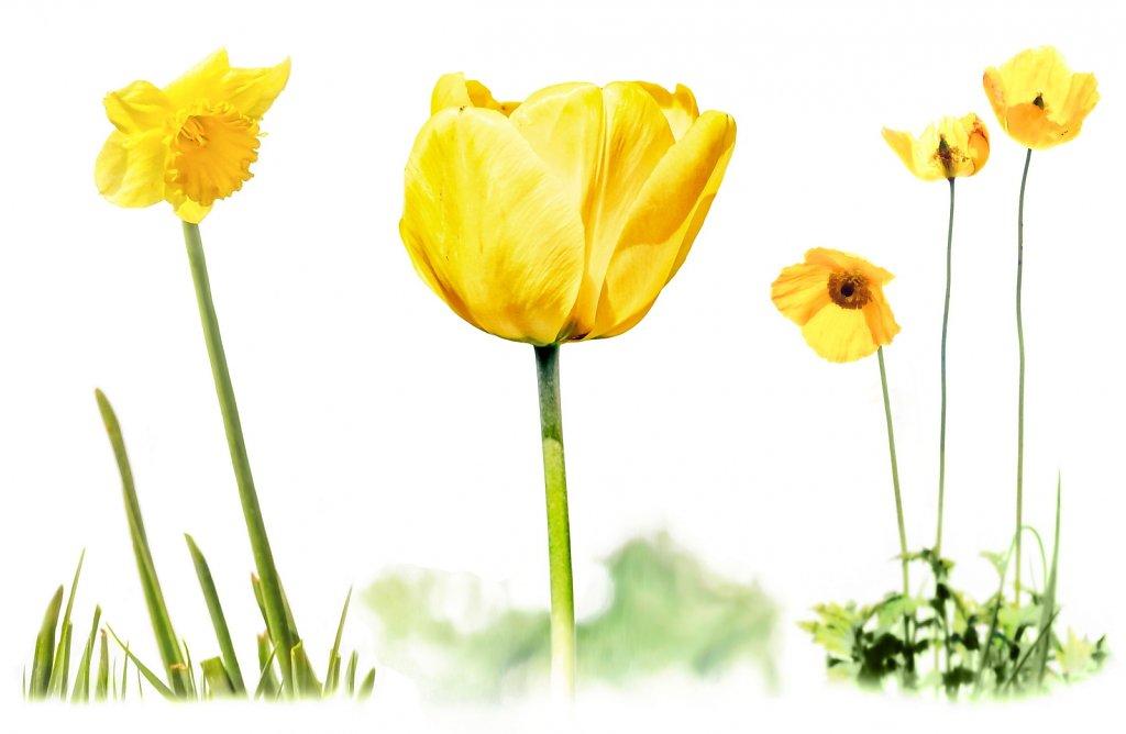 May Day yellows