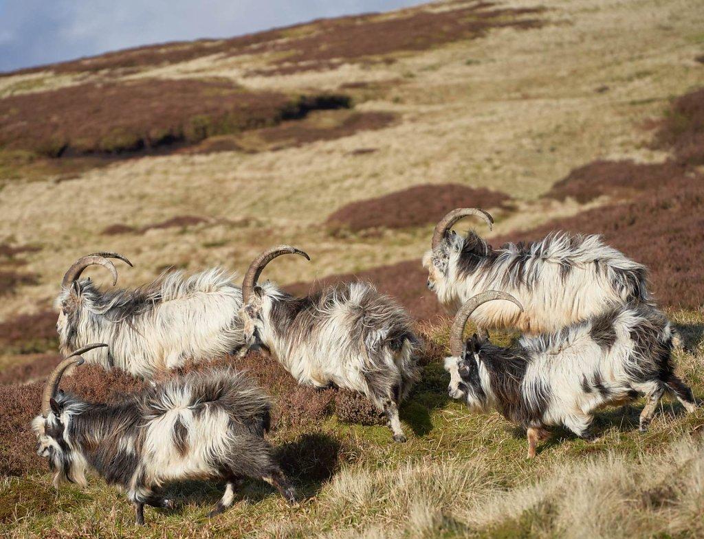 07-billy-goats.jpg